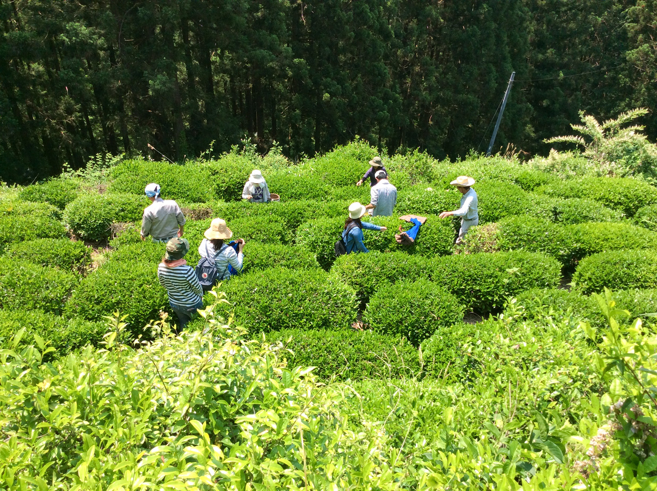 青々とした緑が眩しい茶畑の様子。
