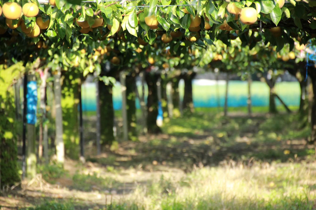 幼少期に過ごした梨畑の風景。