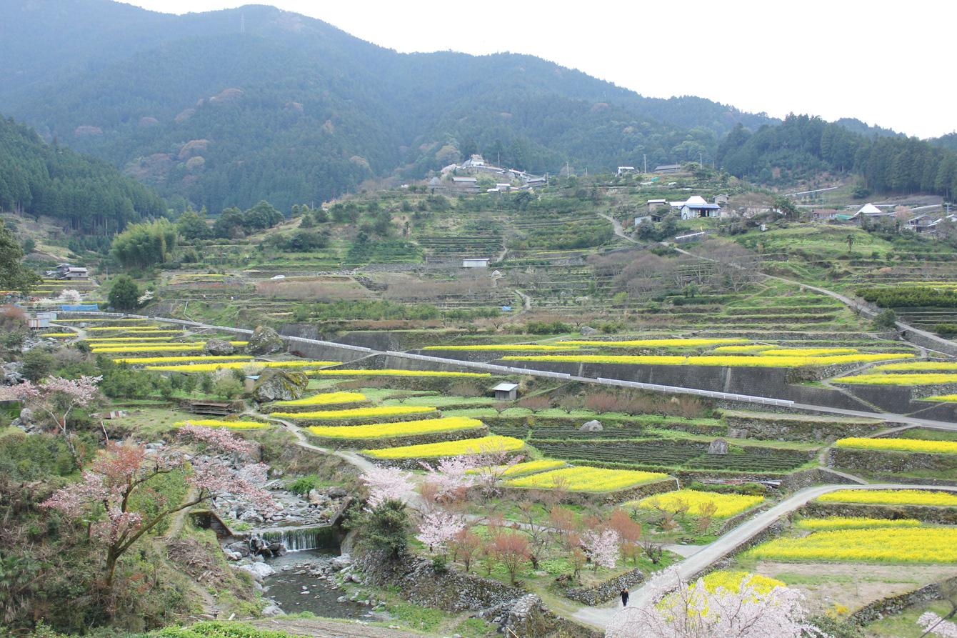 4月。江田集落の棚田には黄色い菜の花畑が広がる。