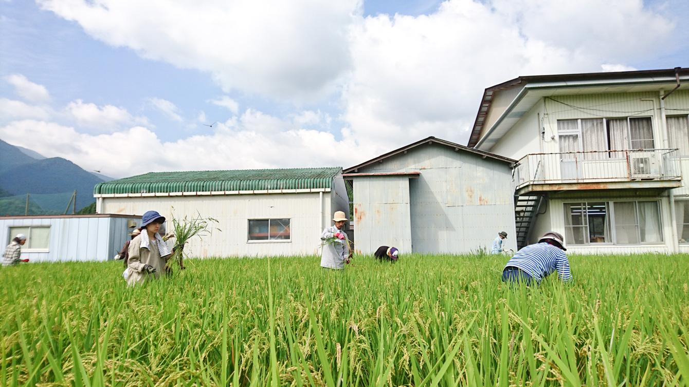 稲を刈り取る前に稗(ひえ)を取って選別する。根っこから抜かないと、すぐにまた生えてくる。
