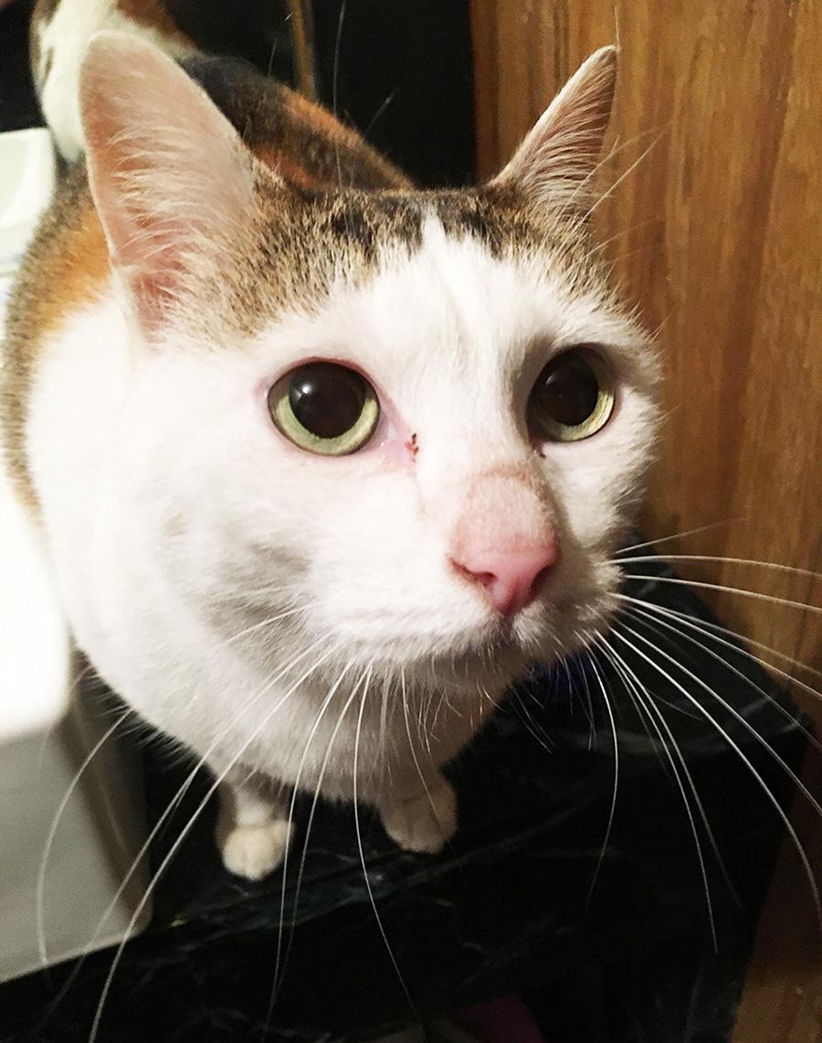 古民家「山姥」の先住ネコ、シロさん。
