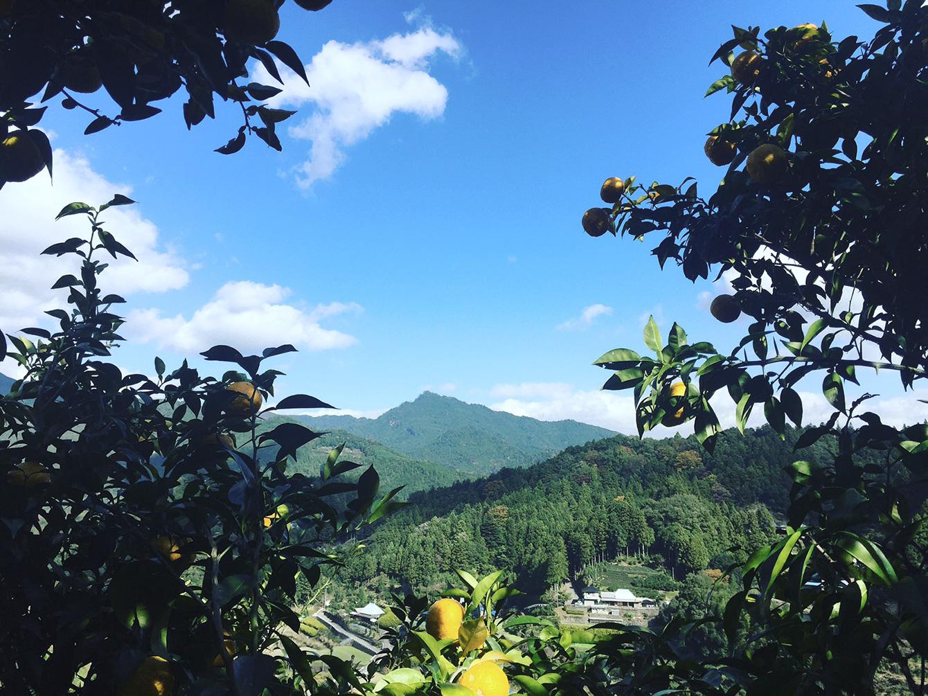 神山の特産品のひとつである柚子の木から見た神山の景色。