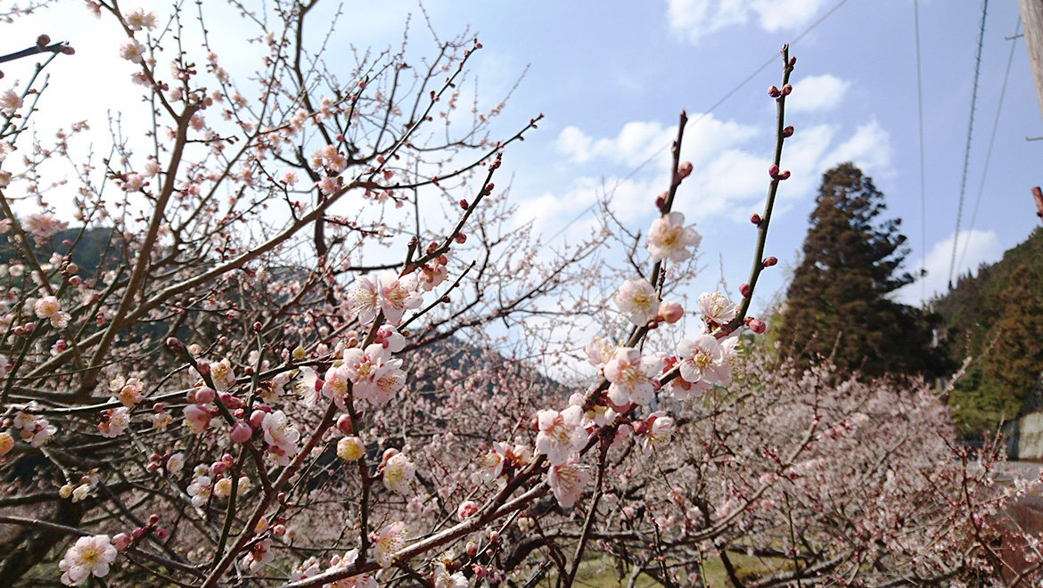 春の訪れ 梅の咲く季節-The Agawa Plum trees are in blossom-
