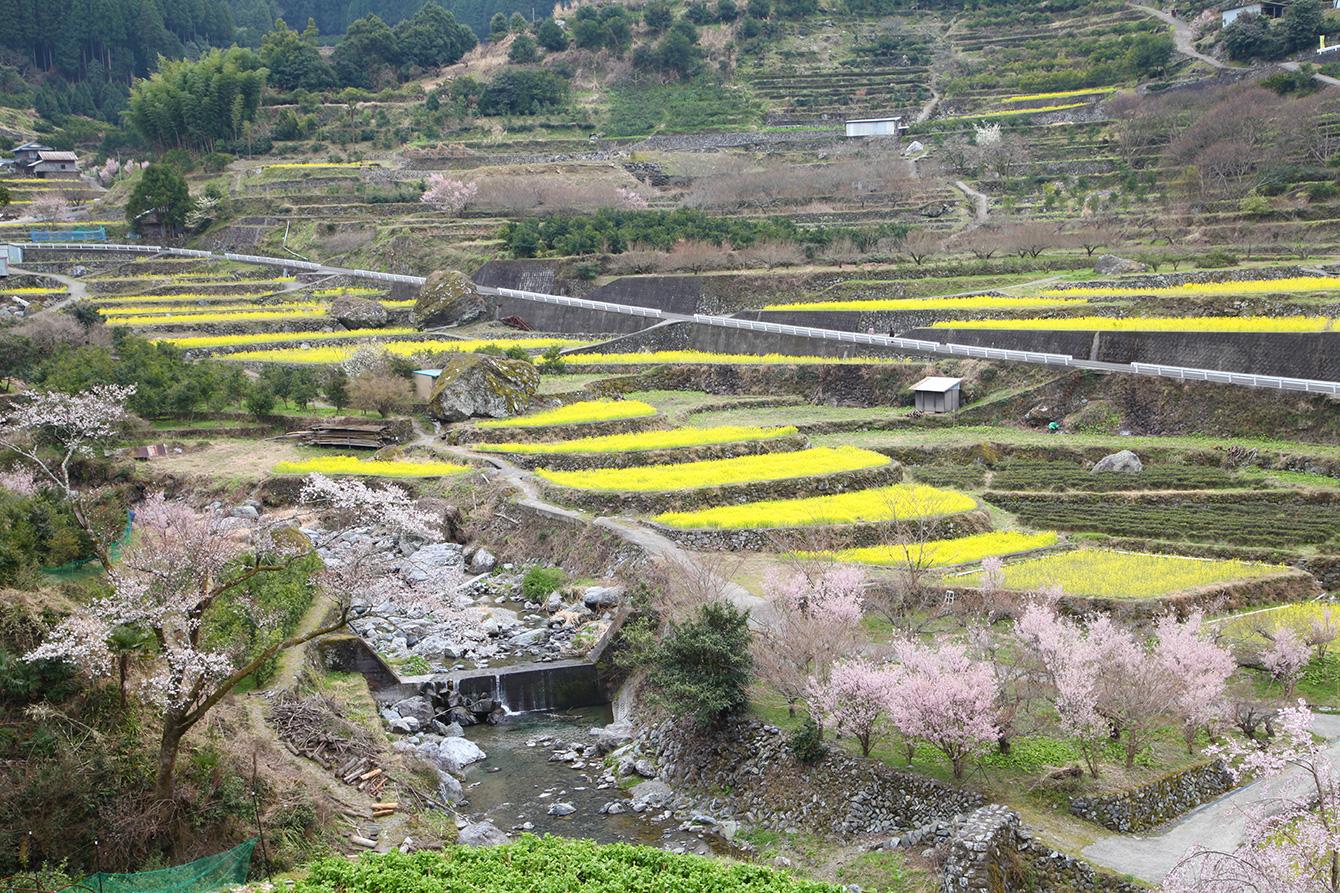 神山町の奥にある江田集落の棚田。3月には菜の花が見頃を迎える。