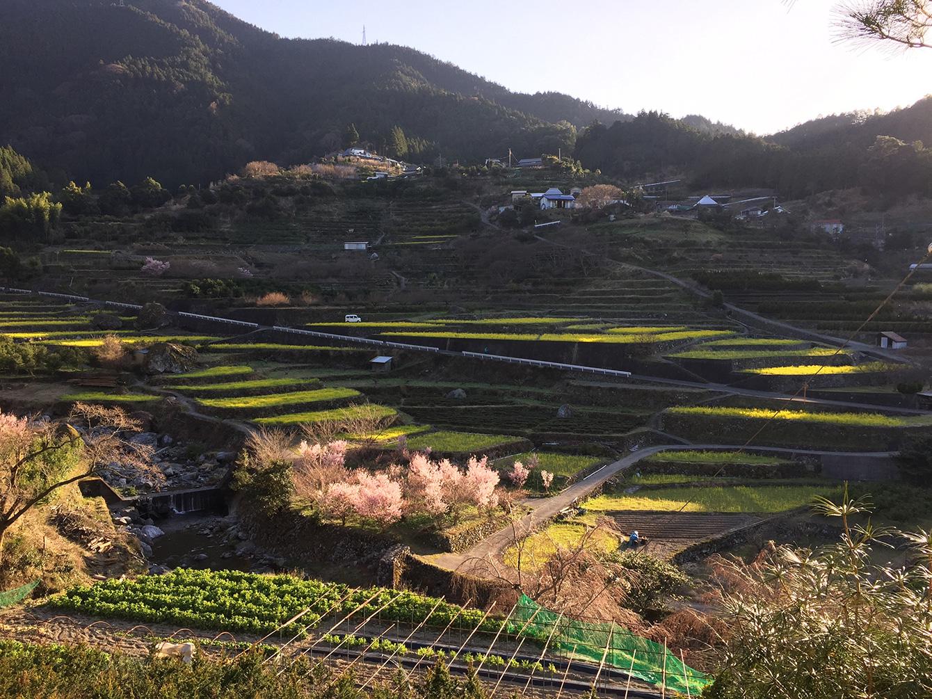 神山町の棚田の風景。春には桜と菜の花が満開。