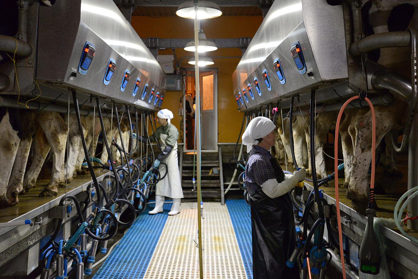 ミルキングパーラーという搾乳機械で、一度に16頭の搾乳ができる。