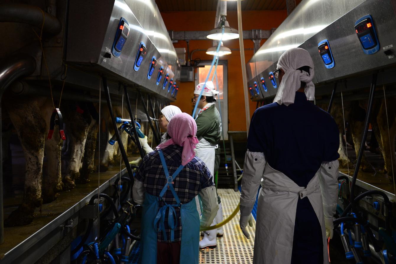 搾乳機の前に1頭づつ牛が来るので、搾乳機を取り付けます。