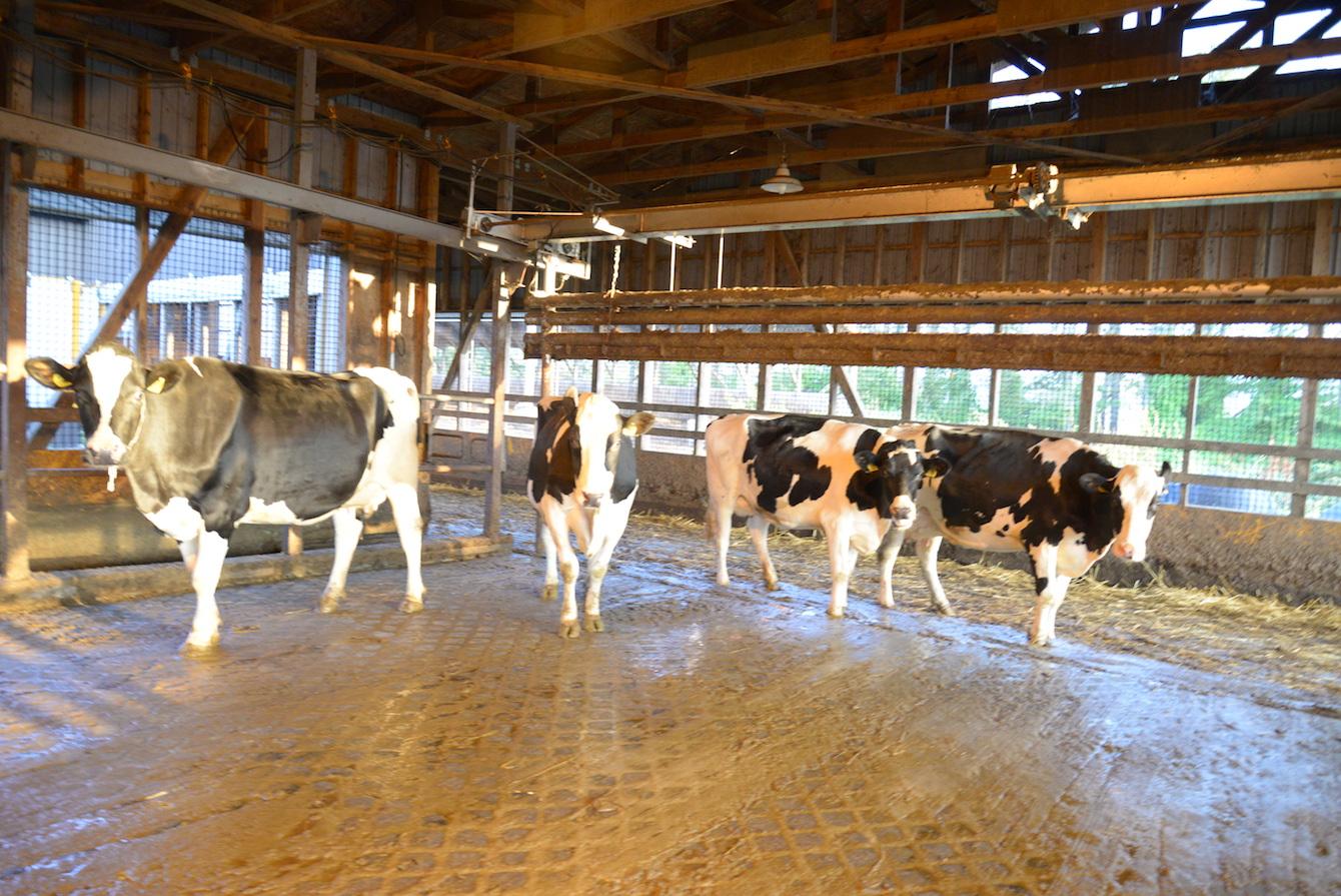 塚田牧場の牛たち、かわいいですね。